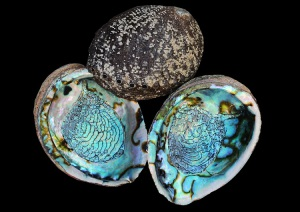 Mexican Abalone Shell Raw Material
